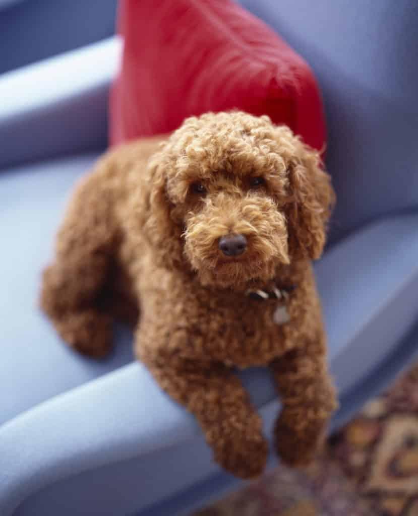 Michael Haverland dog on Marco Zanuso lady chair