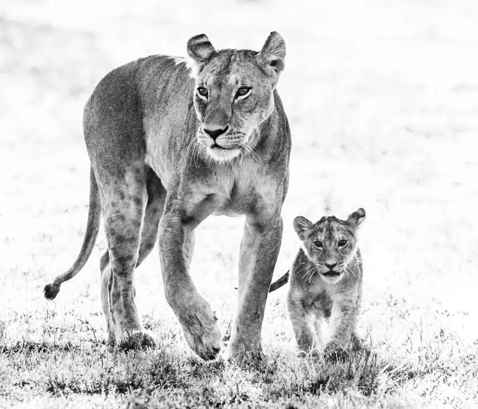 Mother's Day, 2017, by David Yarrow, offered by Hilton Asmus Contemporary